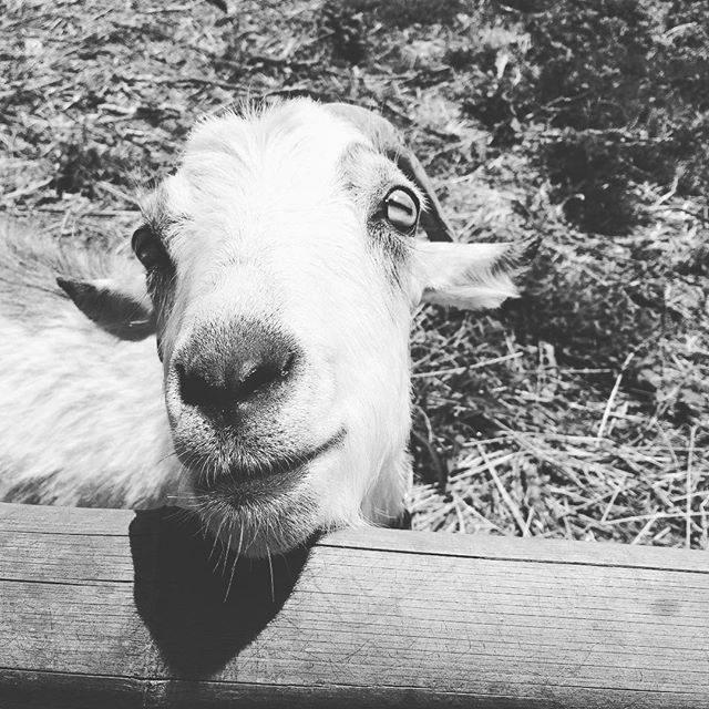 牛と山羊のいる 島のお散歩道が日常だった息子に山羊の写真を見せたらやっぱり 覚えていた。。毎年 年を越すと 忽然と姿を消す散歩道の 山羊さんたちのことを。。いないねぇ きょうも いないねぇと 新年に山羊がいなくなり泣きながら探す姿とその度に 新年早々 息子に真実を伝える勇気がなかったことを思い出し懐かしくなった 今日。#この山羊さんは#年越し#いなくならない#farm#島の暮らし (Instagram)