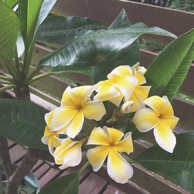おはよう プルメリア️ 引越しの時に島から持って来たプルメリアの木が急な環境の変化で枯れてしまい 素敵なご縁で 昨日娘のフラの先生からお嫁にもらいました。フラの練習をする場所の前に置くと 先生が見守ってくれているような感じがするそうです。#プルメリア#フラ#hula#お守り (Instagram)
