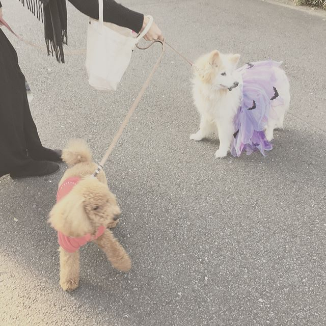Trick or Treat!仮装して 子ども達と一緒に回ったけれど 何にももらえなかった きょうのわんこ。モカは女の子だったの!?って何度も驚かれる。#おばあちゃんです#メスです#trickortreat #きょうのわんこ#ハロウィン#商店街#ハロウィン#ハロウィン仮装 (Instagram)