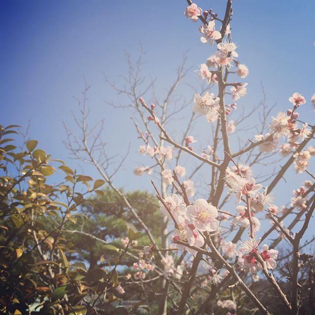 ぽっかぽか。八幡様の梅や桜が咲き始めて撮影日和。お着物姿が素敵過ぎて 指定された時間内で撮影したとこまでは良いけれど撮影枚数は 本日も 絶賛 大幅オーバー。。現像しながらタイ語を練習していたのに言えなかったことをちょっぴり後悔している。#出張撮影#ロケーションフォト#鎌倉#旅記念#卒園#入園#湘南#カマクラフォトグラフィ#着物撮影#コップンカー#って言いたかった#桜#梅 (Instagram)
